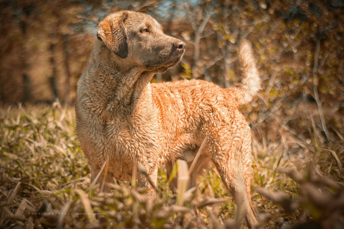 Hund (Chesapeake Bay Retriever)
